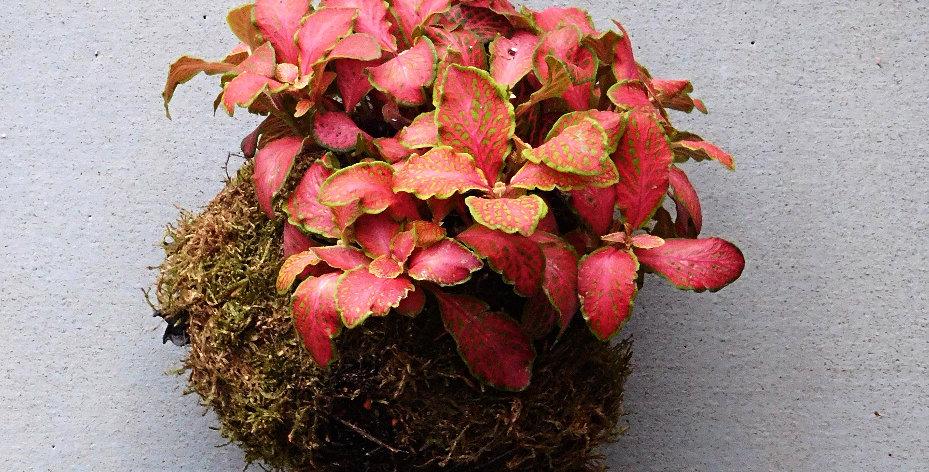 Fittonia albivenis Mosaic Plant, Nerve Plant