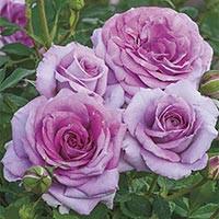 Violets Pride