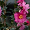 Camellia 'Kanjiro'