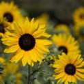 Sunfinity Sunflower