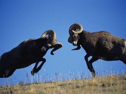 rams fighting.jpg