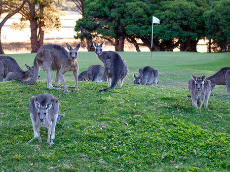 Roo Tours Are Back At Gisborne Golf Club!