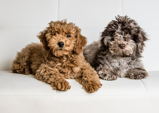 two Puppies posing on a white couch.jpg