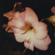 amaryllis (1)_edited_edited.jpg