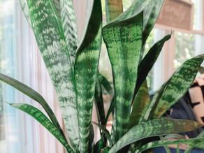 Sansevieria AKA Snake Plant Profile & Basic Care Tips