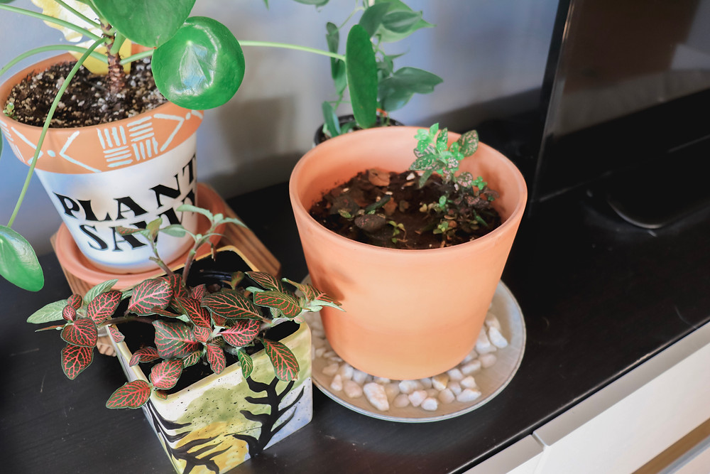 polka dot plant and nerve plant grouped together on a pebble tray