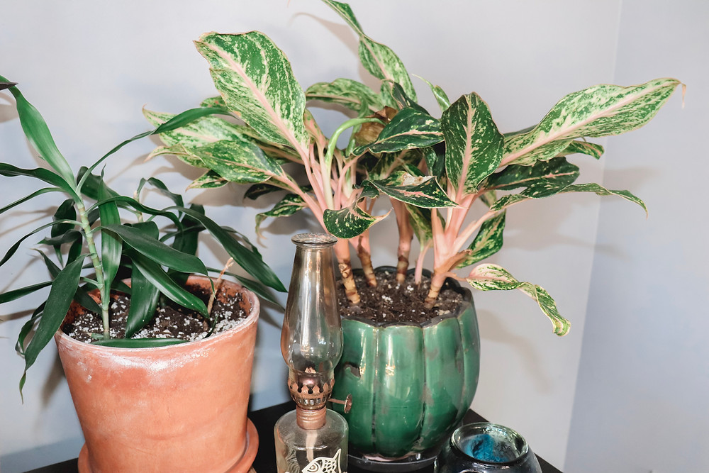 Chinese evergreen plant and lucky bamboo plant grouped together