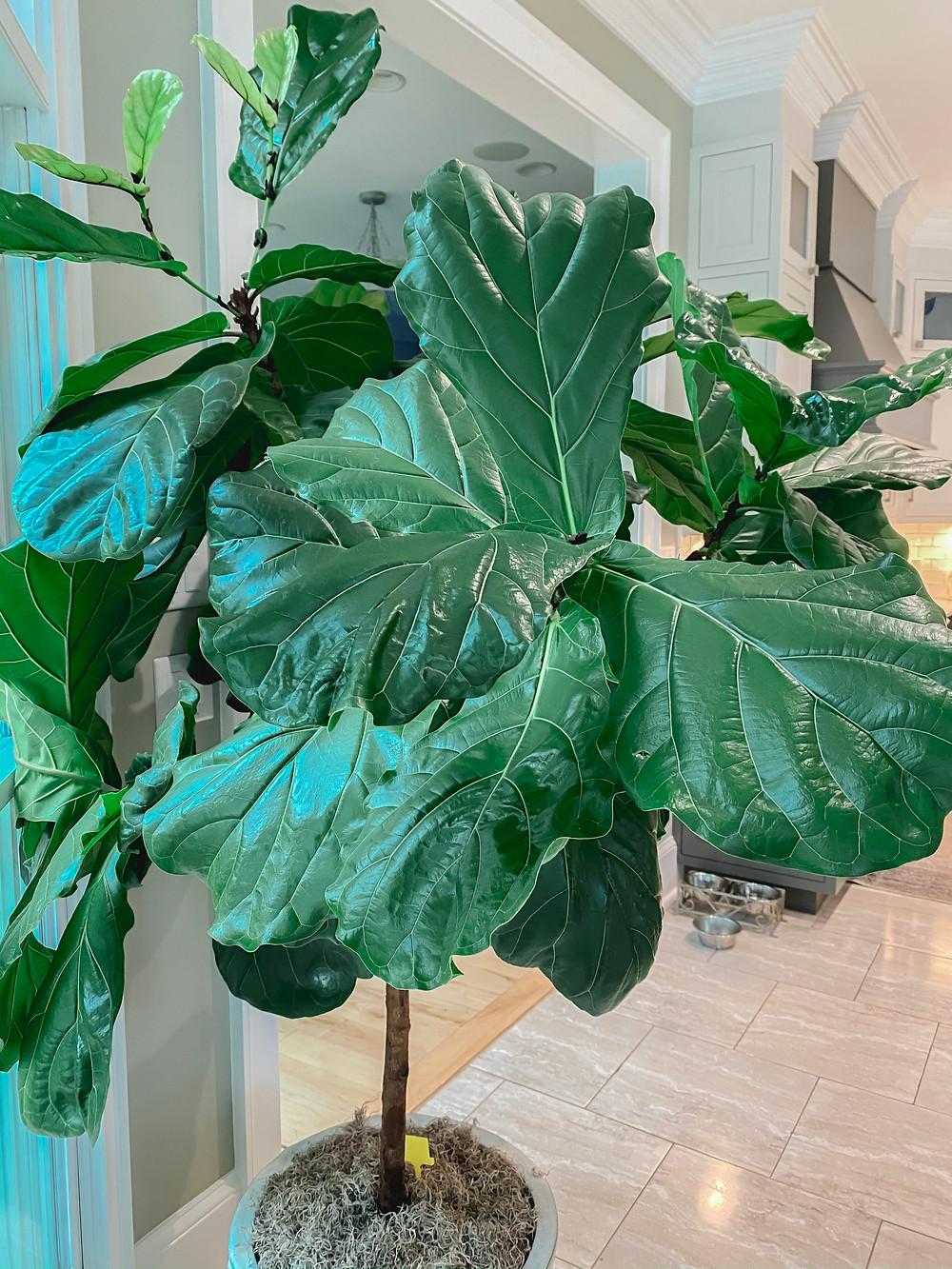 Huge Healthy Fiddle Leaf Fig