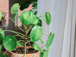 Understanding Natural Light and How It Affects Your Houseplants