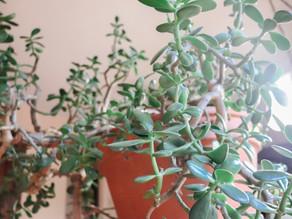 Caring For Your Jade Plant: Crassula Ovata Basic Care Tips