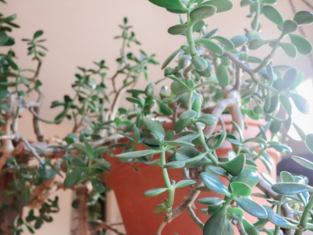Caring For Your Jade Plant: Crassula Ovata Basic Care Tips
