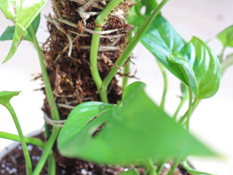 How To Make An Easy Moss Pole For Your Indoor Climbing Plants