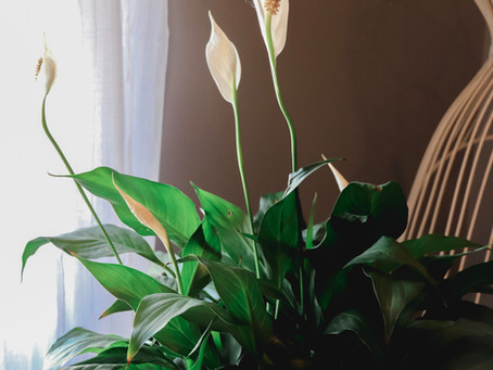 Growing Peace Lilies: How To Care For Spathiphyllum