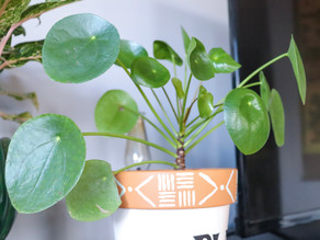 How to Care For Pilea Peperomioides or Chinese Money Plant