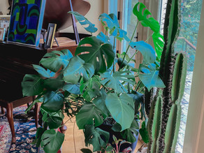 How To Care For Monstera Deliciosa AKA Swiss Cheese Plant