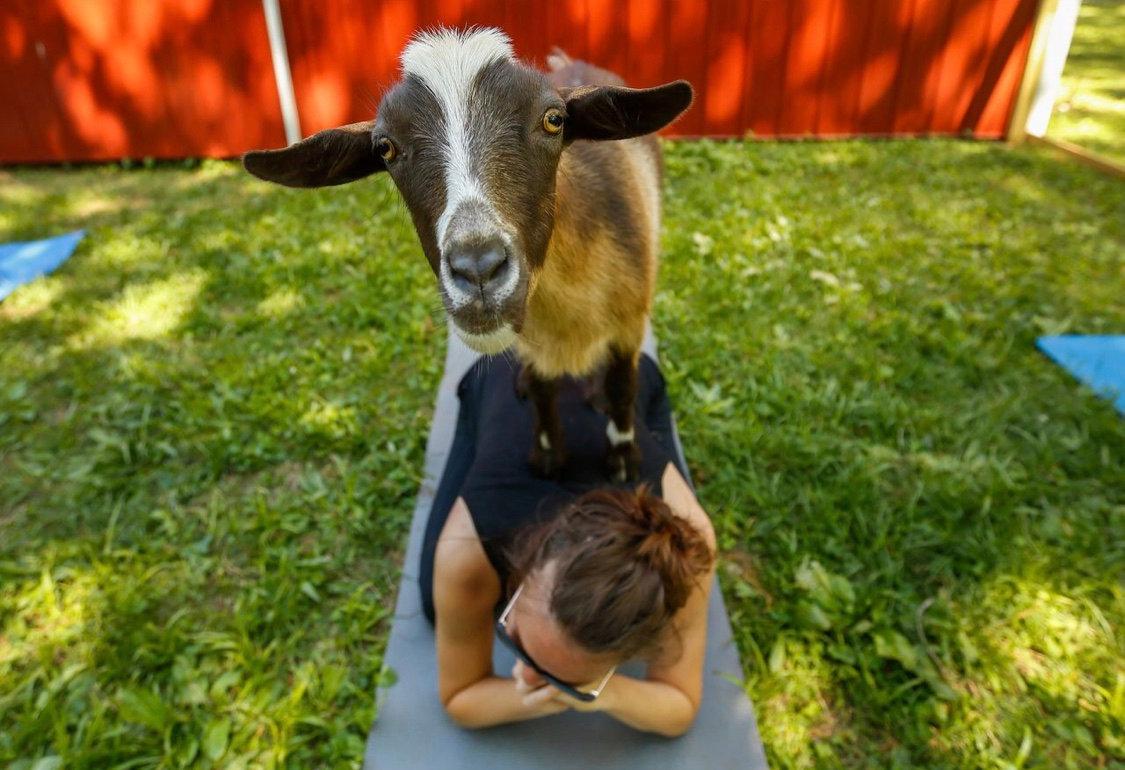 Goats and Yoga
