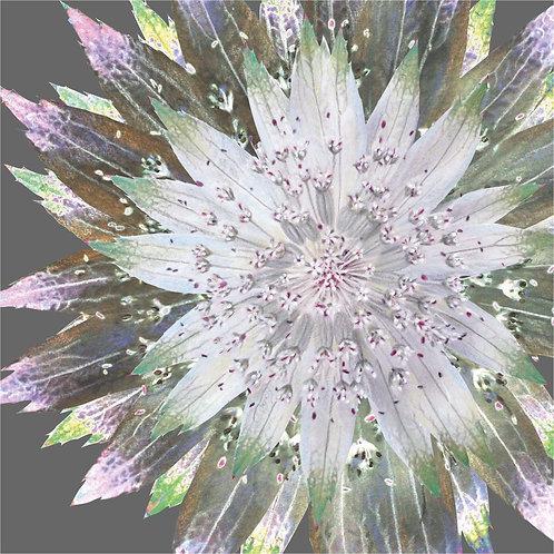 Flower Art / Floral Greeting Card 'Starburst Astrantia'