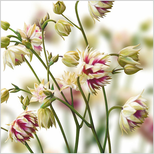 Flower Art / Floral Greeting Card 'Aquilegia' Nora Barlow