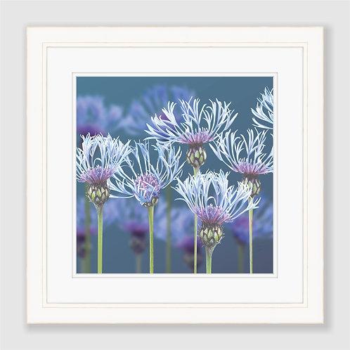 Centaurea Print