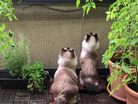 Waaas...ich kann nicht fliegen? oder wie wichtig die Balkonsicherung für Katzen ist!