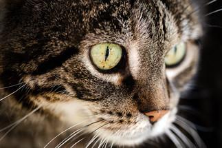 claudia-schweizer-katzenverhaltensberatung-katzenfotografie-tierfotografin-tigerli-grüne katzenaugen