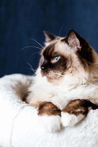 claudia-schweizer-katzenverhaltensberatung-katzenfotografie-kater-samson-blauer hintergrund
