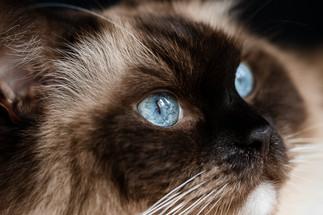 claudia-schweizer-katzenverhaltensberatung-katzenfotografie-ragdoll-samson