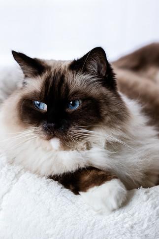 claudia-schweizer-katzenverhaltensberatung-katzenfotografie-kater-ragdoll-posiert