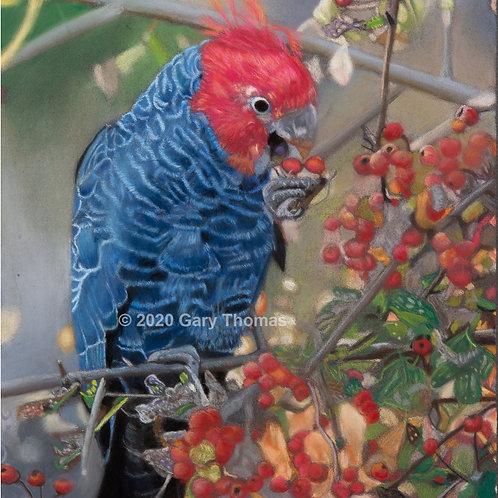 Gang-Gang Parrot Pastel Painting (A3)