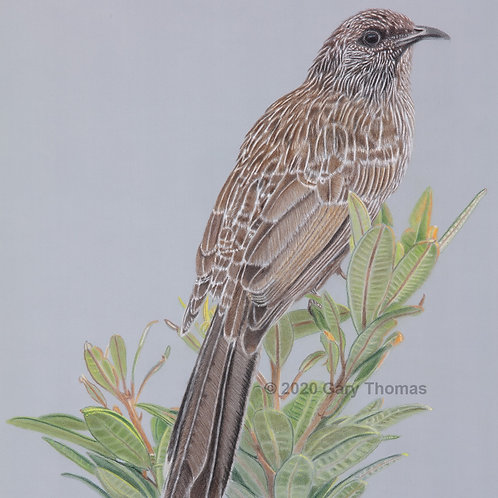 Little Wattlebird (original coloured pencil)