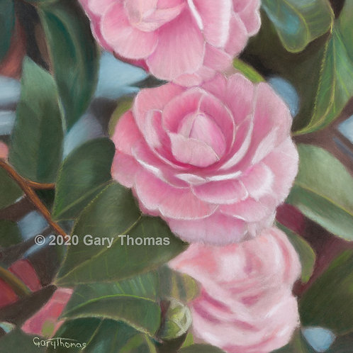 Camellias (original pastel-Framed)