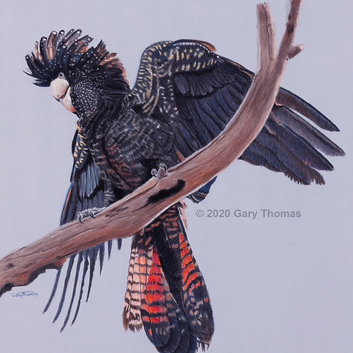 SOLD - High & Mighty Red Tailed Black Cockatoo