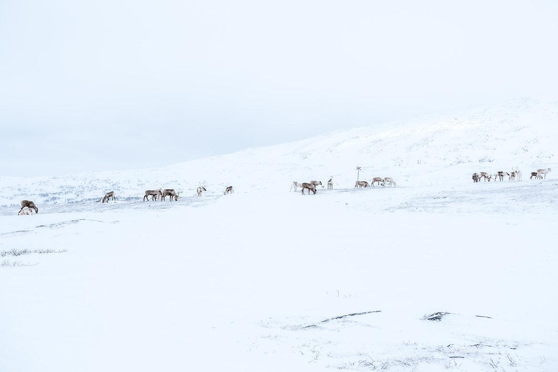 Schweden Foto von Åre, Region Jämtland in Norrland - Nordschweden. Viele Rene auf dem schneebedeckten Berg.