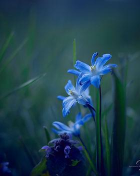 Frühling-2020-Blaustern.jpg