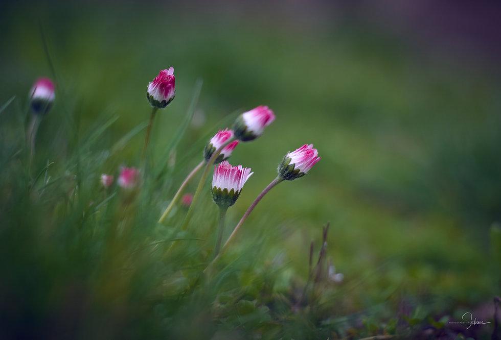 Gänseblümchen Fotografie
