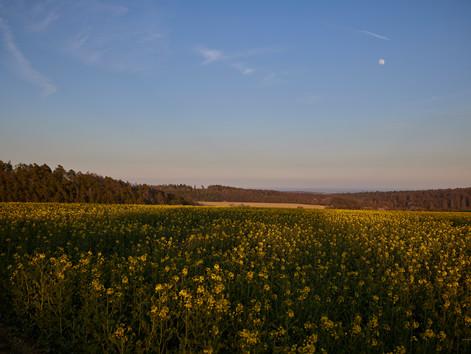 Rapsfeld kurz vor Sonnenuntergang.