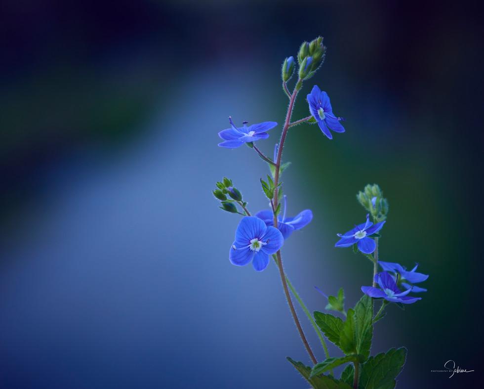 Blaue Schönheiten