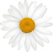 Camomile_2_022.png