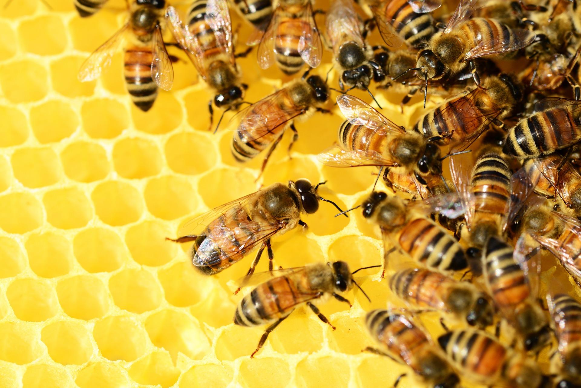 honey-bees-326337_1920 (1)