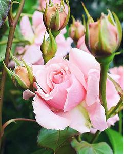 rose_edited.jpg