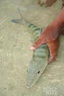 Bonefish-bonefish-sept-2006.jpg