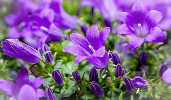 Jardin-Fleurs-violettes.jpg