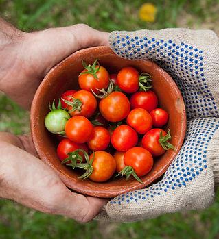 Tarım, Domates, Ekoloji, Çiftlik