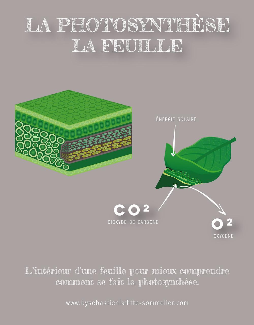 Illustration de la photosynthèse avec la coupe d'une feuille pour le cours de Chimie de Sébastien Laffitte Sommelier