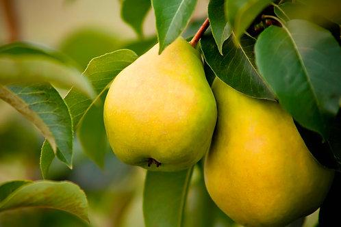 Bartlett Pears - AUGUST 29
