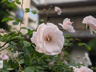 境内にバラが咲きました