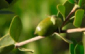 Jojoba-plant.jpg