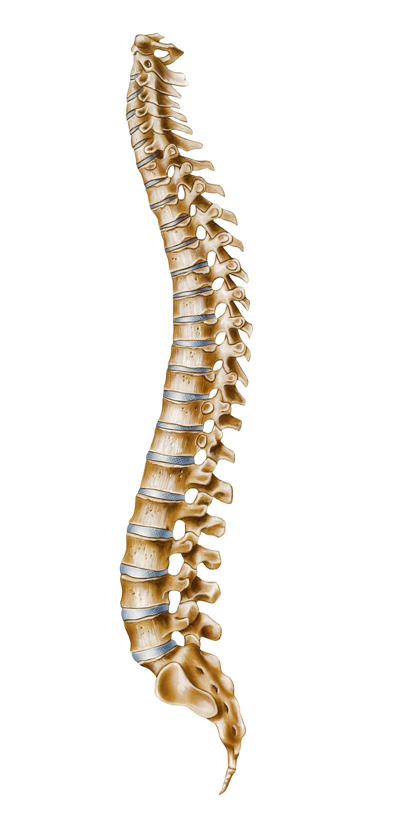 kisspng-human-vertebral-column-atlas-cer