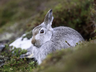 Greater Protection for Scotland's Mountain Hares from 01 March
