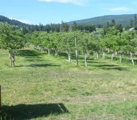 Macintosh grove